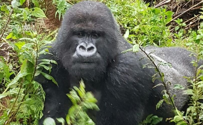 Gorilla_photo_3