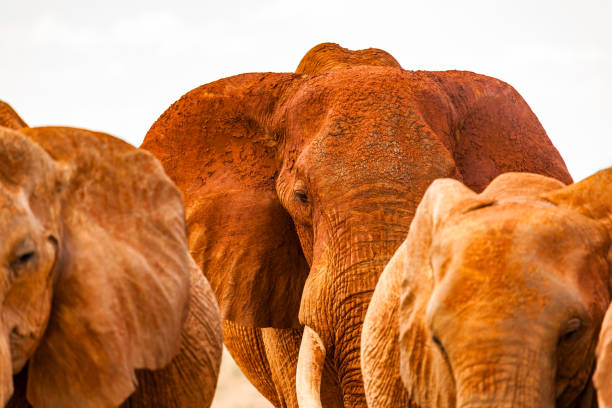 Aggressive giant elephant and other Tsavo East African Red Elephants are becoming crowded to attack on dirt road against the safari vehicle. Painted with the red Mud ...