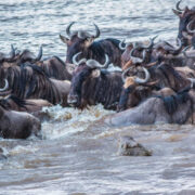 Crocodile approaching the wildebeest during river crossing in Masai Mara
