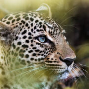 Close up of African leopard in the wild.
